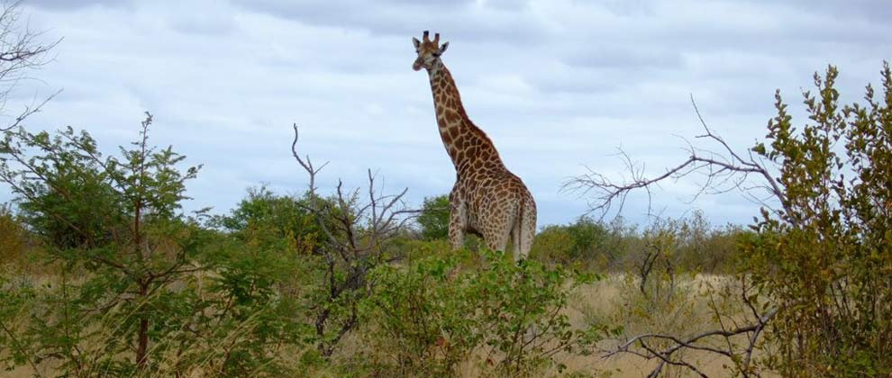 Giraffe seen on safari in Limpopo National Park
