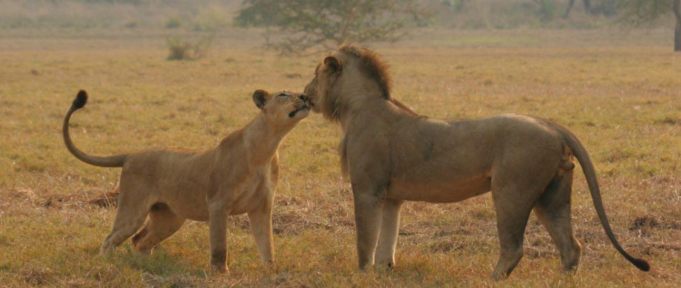 Lions interacting at Gorongosa National Park