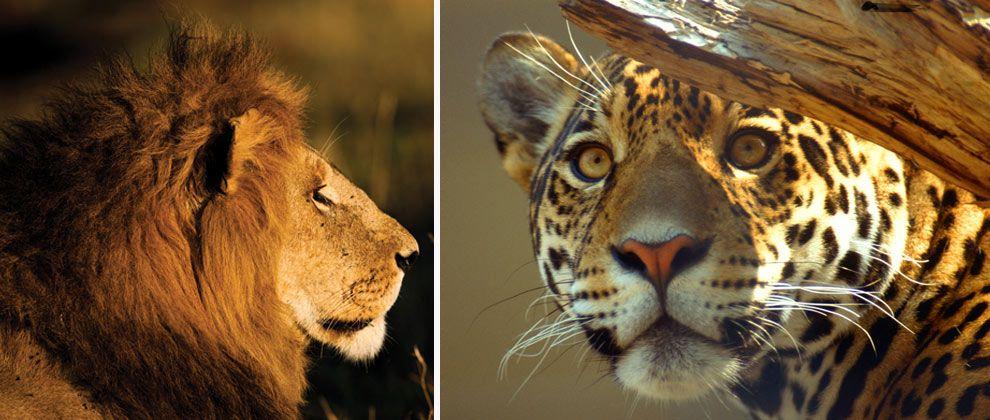 Big cats seen on safari from Pestana Kruger lodge