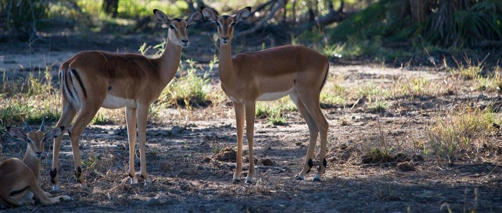 Antelope seen in Gorongosa National Park