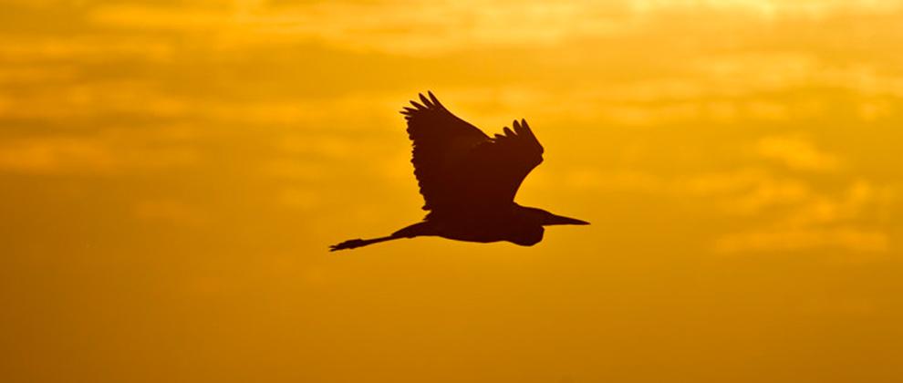 Bird in flight at Gorongosa National Park