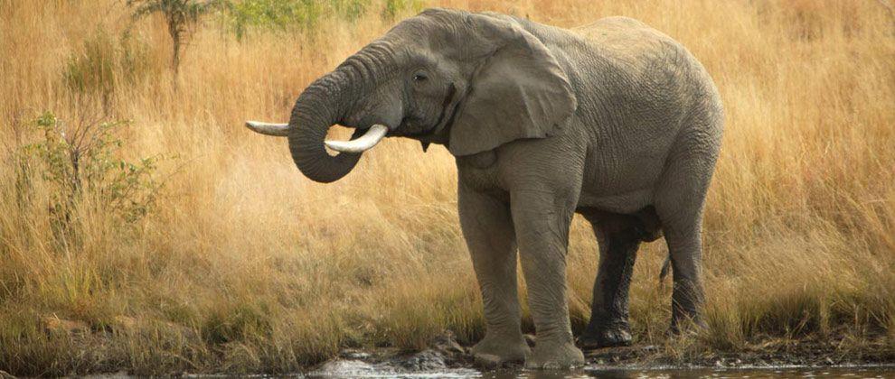 Elephant seen on safari from Pestana Kruger lodge