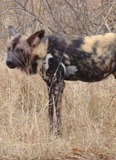 Wild dog seen on safari in Kruger park